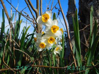 今日のお花:スイセン