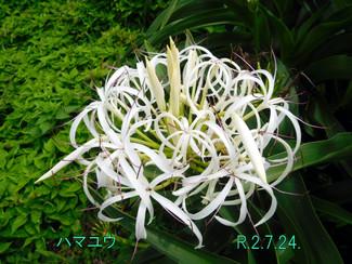 今日のお花:ハマユウ