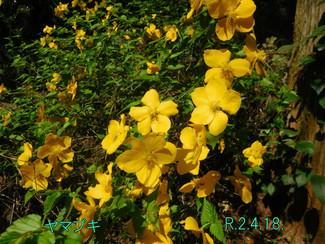 今日のお花:ヤマブキ