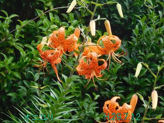 今日のお花:オニユリ