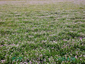 今日のお花:ゲンゲ