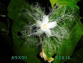 今日のお花:カラスウリ