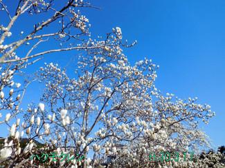 今日のお花:ハクモクレン