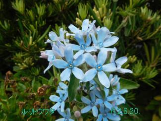 今日のお花:ルリトウワタ