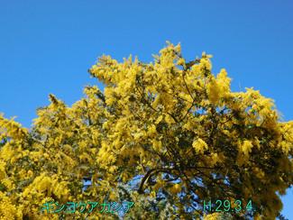今日のお花:ギンヨウアカシア