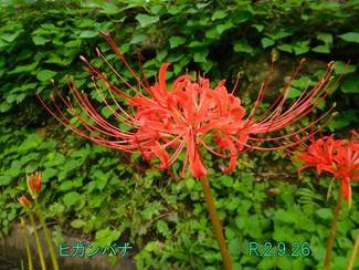 今日のお花:ヒガンバナ