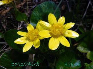 今日のお花:ヒメリュウキンカ