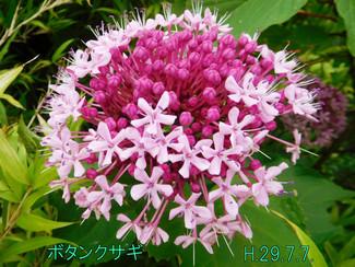 今日のお花:ボタンクサギ