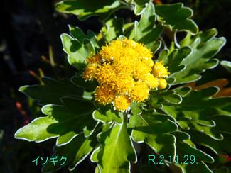 今日のお花:イソギク