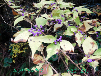 今日のお花:ムラサキシキブ