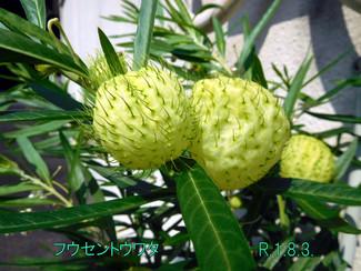 今日のお花:フウセントウワタ