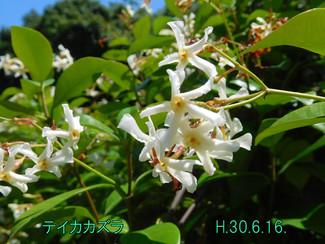 今日のお花:テイカカズラ