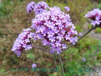 今日のお花:バーベナ・ボナリエンシス