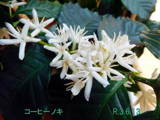 今日のお花:コーヒーノキ