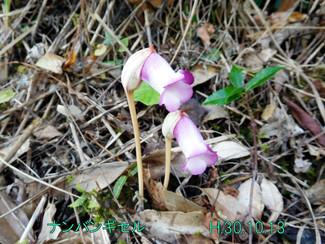 今日のお花:ナンバンギセル