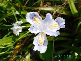 今日のお花:シャガ