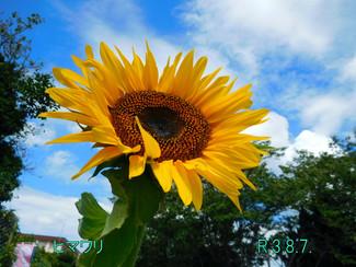 今日のお花:ヒマワリ