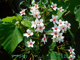 今日のお花:アブラギリ