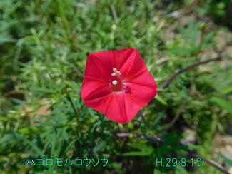 今日のお花:ハゴロモルコウソウ