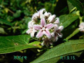 今日のお花:ガガイモ