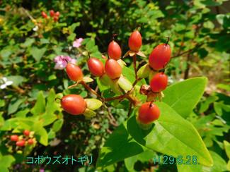 今日のお花:コボウズオトギリ