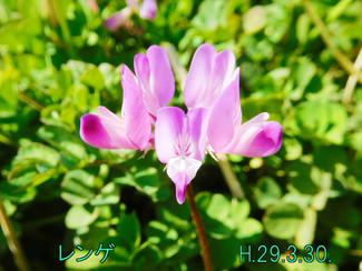 今日のお花:レンゲ