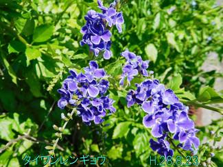今日のお花:タイワンレンギョウ
