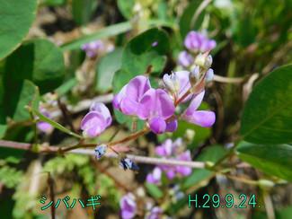 今日のお花: シバハギ