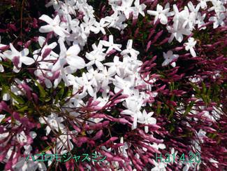 今日のお花:ハゴロモジャスミン