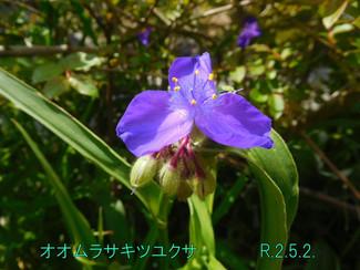 今日のお花:オオムラサキツユクサ