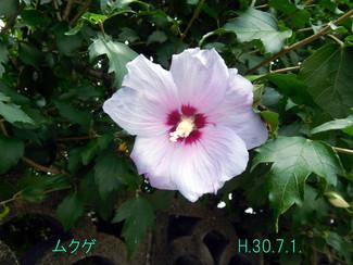 今日のお花:ムクゲ