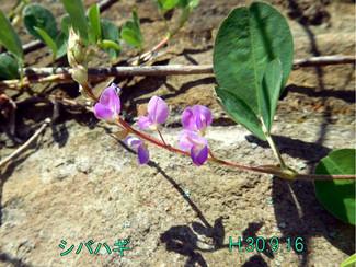今日のお花:シバハギ