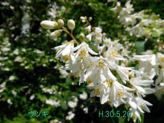 今日のお花:ウツギ