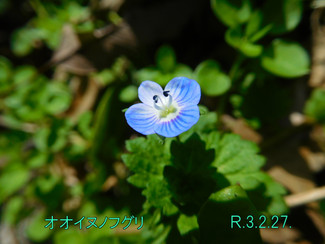今日のお花:オオイヌノフグリ
