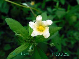 今日のお花:キンゴジカ