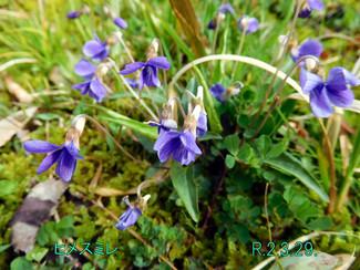 今日のお花:ヒメスミレ