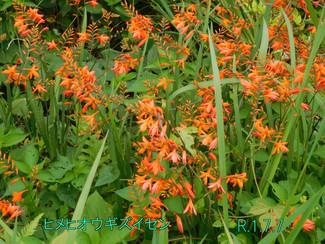 今日のお花:ヒメヒオウギズイセン