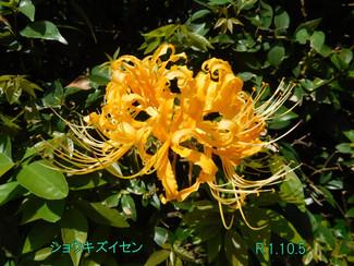 今日のお花:ショウキズイセン