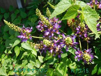 今日のお花:ムラサキナツフジ
