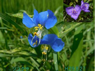 今日のお花:ツユクサ