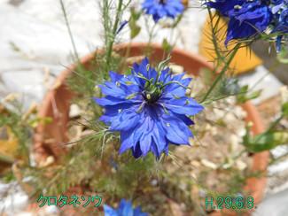 今日のお花:クロタネソウ