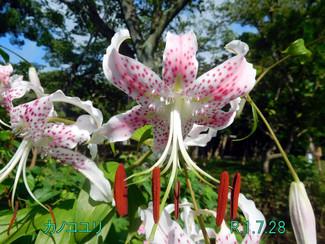 今日のお花:カノコユリ