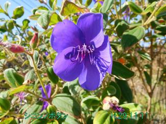 今日のお花:シコンノボタン