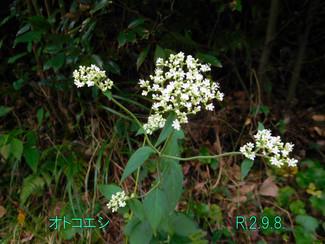 今日のお花:オトコエシ