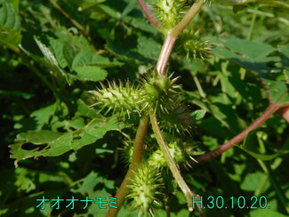 今日のお花:オオオナモミ