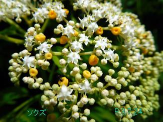 今日のお花:ソクズ