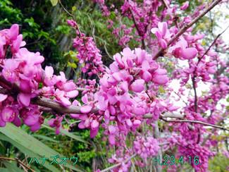 今日のお花:ハナズオウ