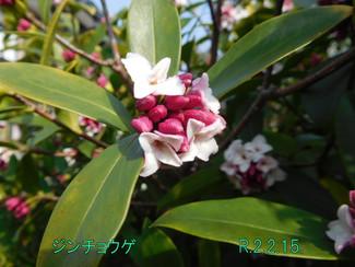 今日のお花:ジンチョウゲ