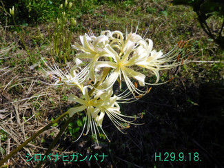 今日のお花:シロバナヒガンバナ