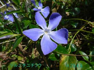 今日のお花:ツルニチニチソウ